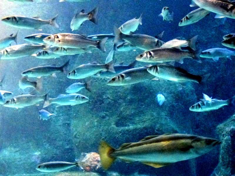 4_peces